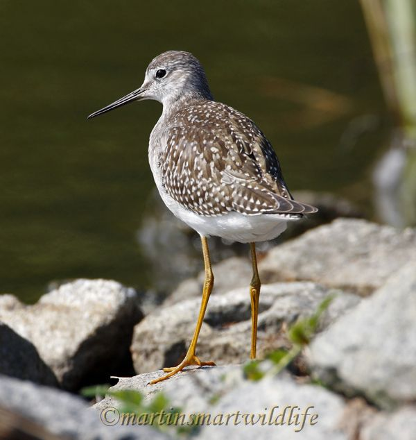 Lesser_Yellowlegs_8916x.jpg