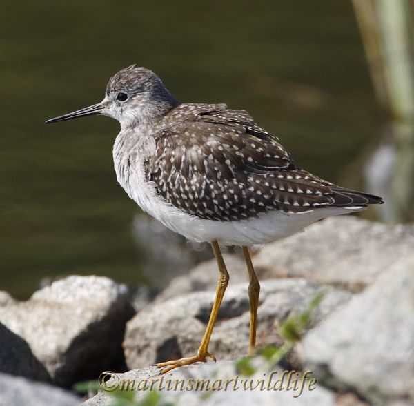 Lesser_Yellowlegs_8919x.jpg