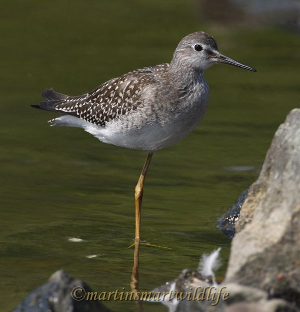 Lesser_Yellowlegs_8924x.jpg