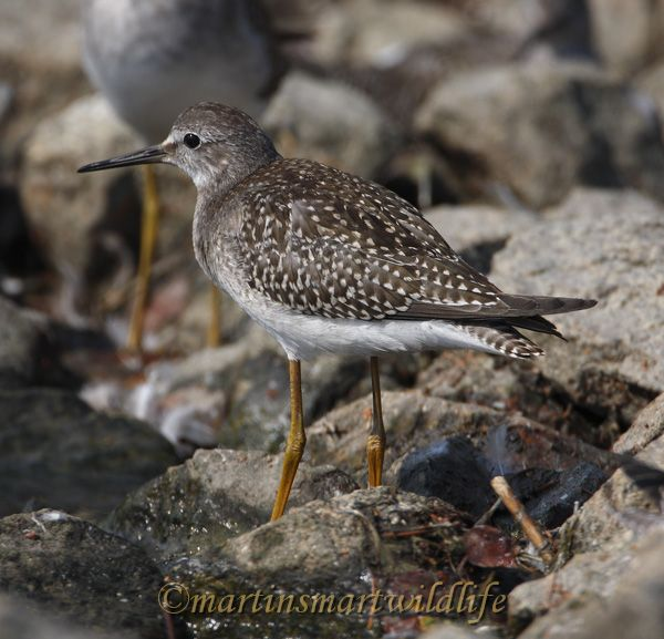 Lesser_Yellowlegs_8938x.jpg