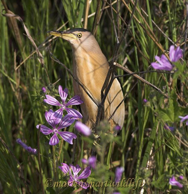 Little_Bittern_5297ax.jpg