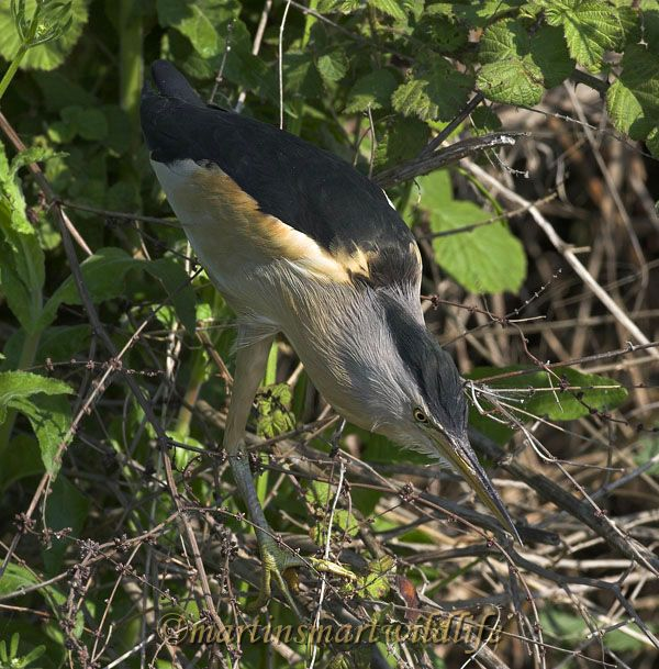 Little_Bittern_5369ax.jpg