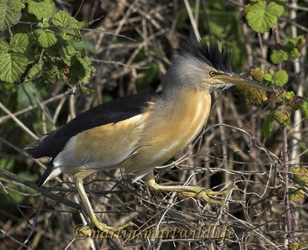 Little_Bittern_5382ax.jpg