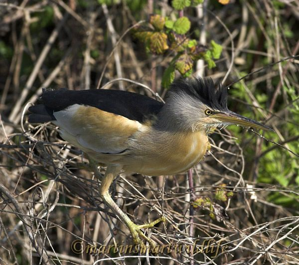 Little_Bittern_5388ax.jpg