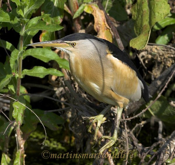 Little_Bittern_5402ax.jpg