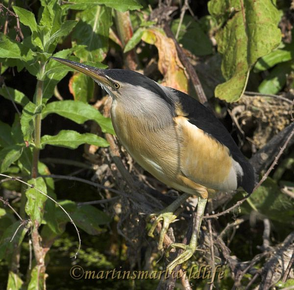 Little_Bittern_5403ax.jpg