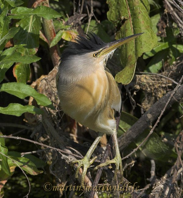 Little_Bittern_5414ax.jpg