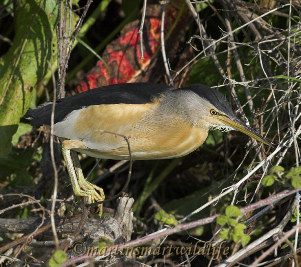 Little_Bittern_5417ax.jpg