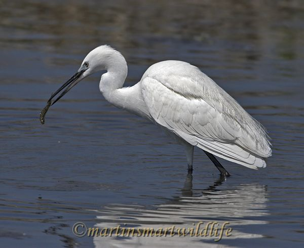 Little_Egret_3720x.jpg