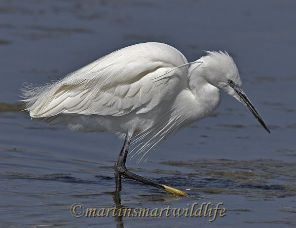Little_Egret_3724x.jpg
