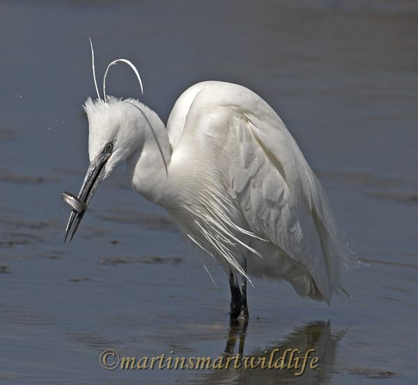 Little_Egret_3735x.jpg