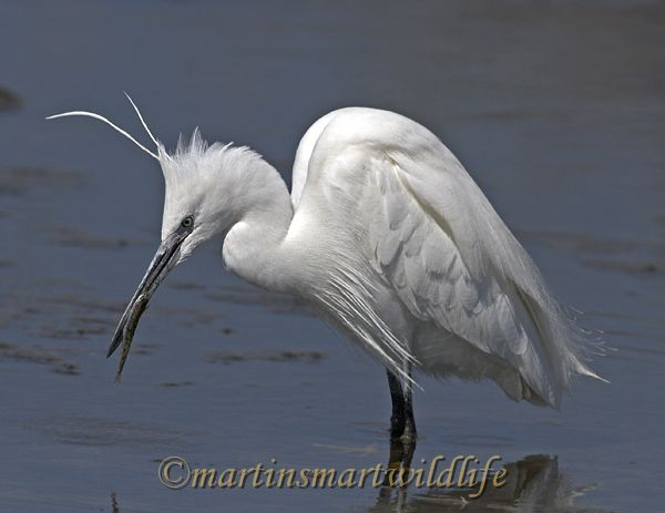 Little_Egret_3737x.jpg
