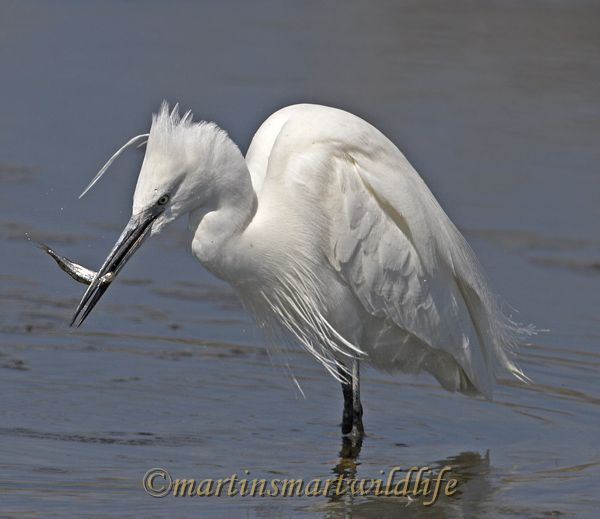 Little_Egret_3738x.jpg