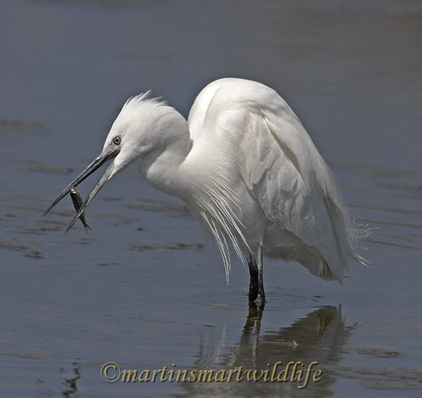 Little_Egret_3741x.jpg