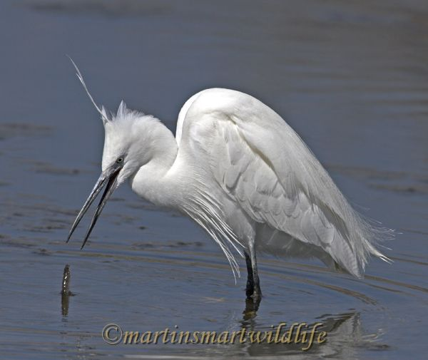 Little_Egret_3743x.jpg