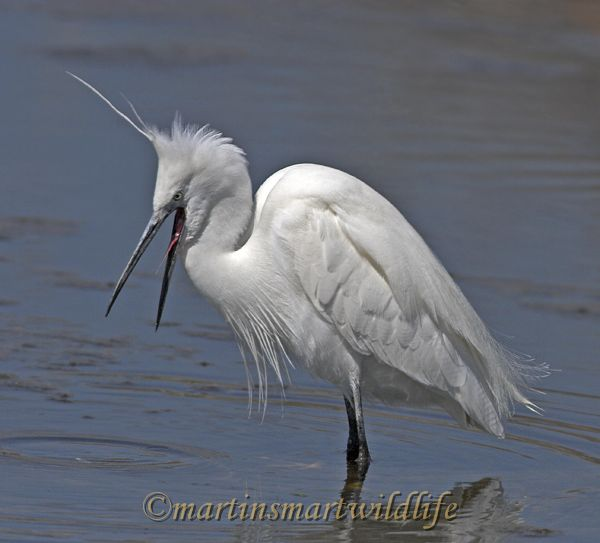 Little_Egret_3745x.jpg
