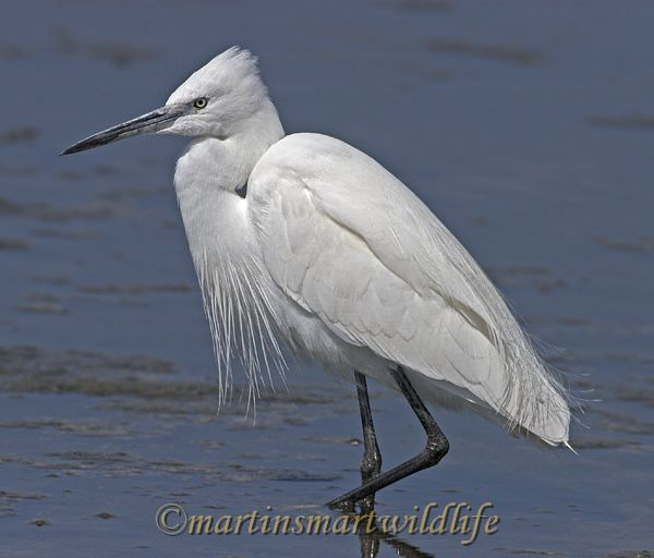 Little_Egret_3749x.jpg