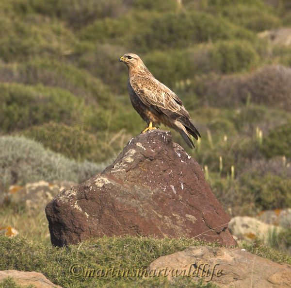 Long-legged_Buzzard_5256x.jpg