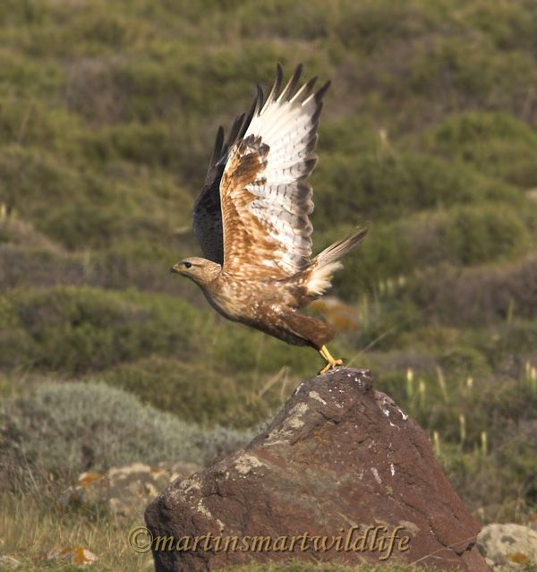 Long-legged_Buzzard_5259x.jpg