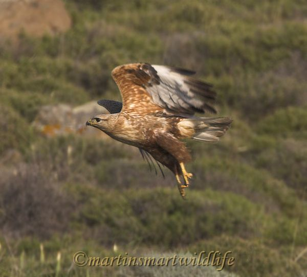 Long-legged_Buzzard_5260x.jpg