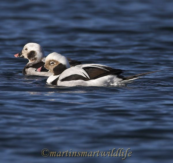 Long-tailed_Duck_1811ax.jpg