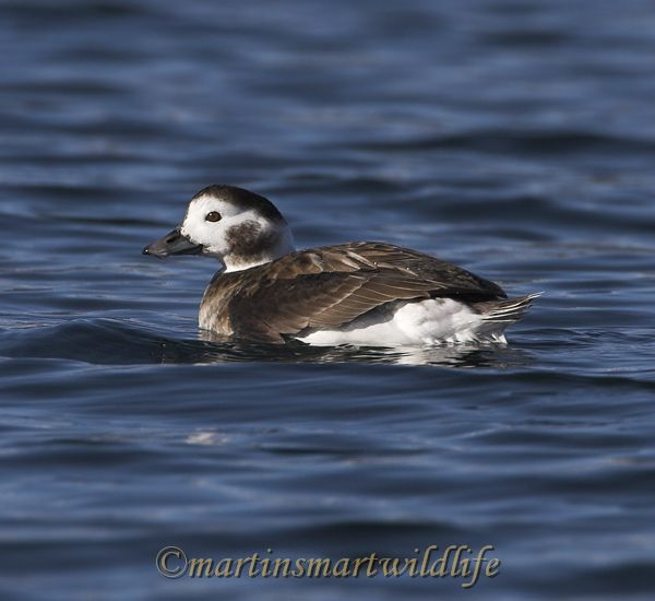 Long-tailed_Duck_1818x.jpg