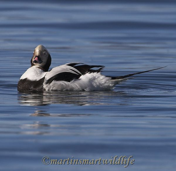 Long-tailed_Duck_1919ax.jpg
