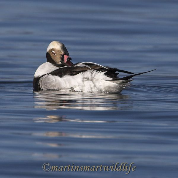 Long-tailed_Duck_1920x.jpg