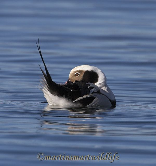 Long-tailed_Duck_1922ax.jpg