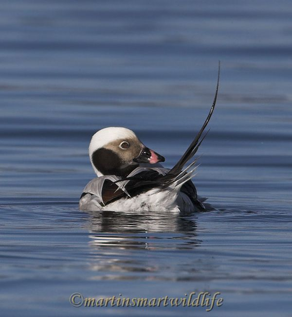 Long-tailed_Duck_1931ax.jpg