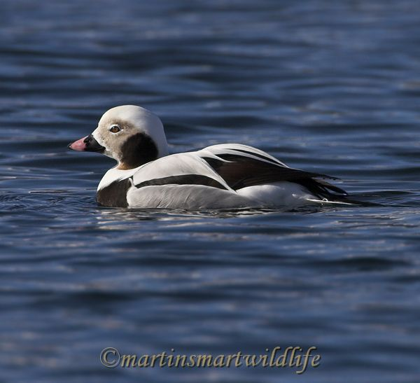 Long-tailed_Duck_1942x.jpg