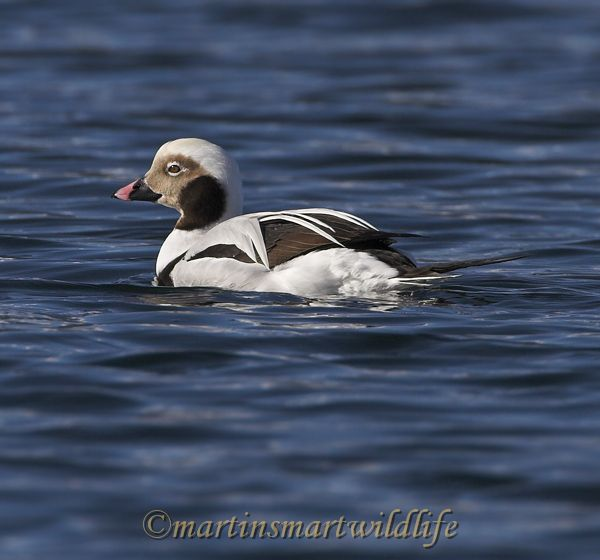 Long-tailed_Duck_1949x.jpg