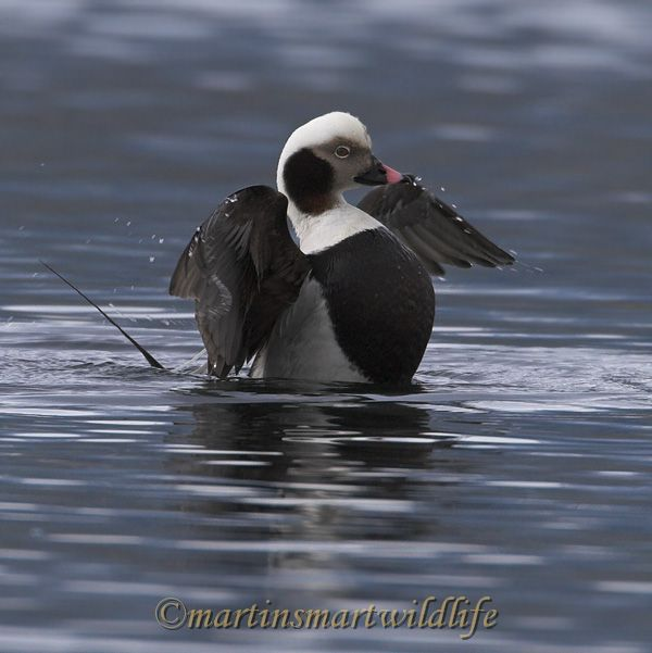 Long-tailed_Duck_2292x.jpg