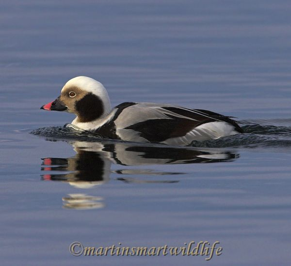 Long-tailed_Duck_2309ax.jpg