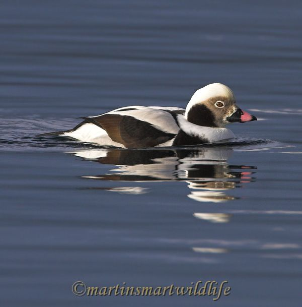 Long-tailed_Duck_2321x.jpg