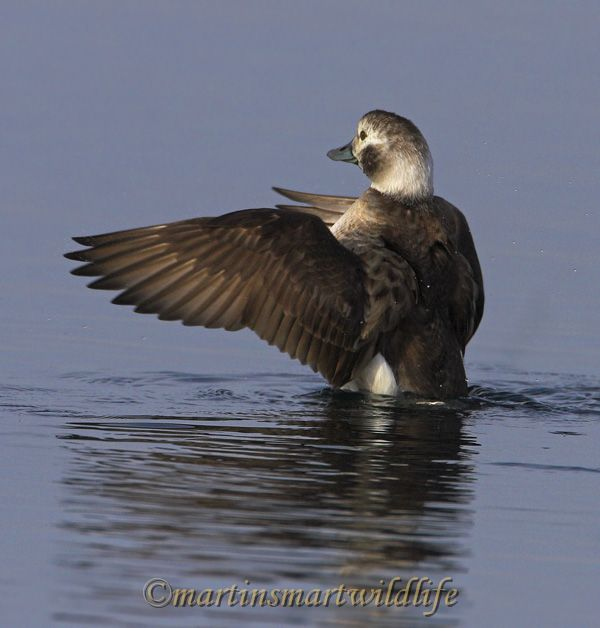Long-tailed_Duck_2327x.jpg