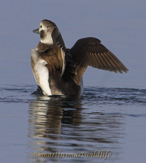 Long-tailed_Duck_2329x.jpg