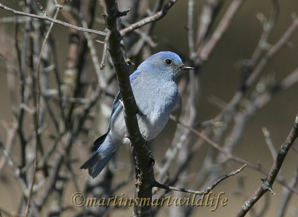 Mountain Bluebird 1915aa.jpg