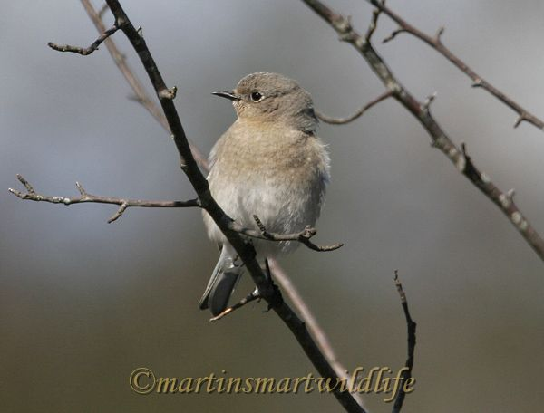 Mountain Bluebird 2001aa.jpg
