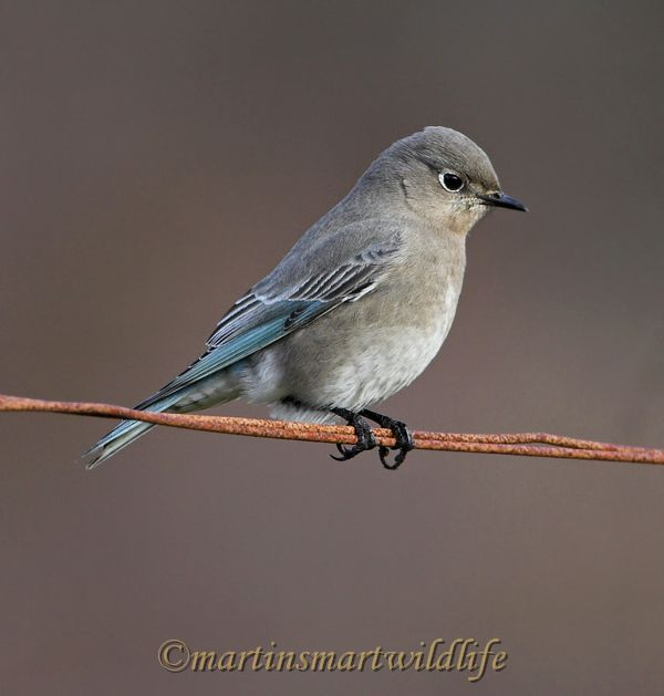 Mountain_Bluebird_1396ax.jpg