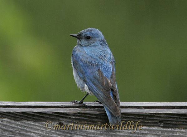Mountain_Bluebird_2461aa.jpg