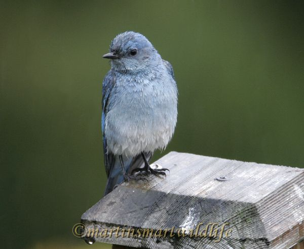 Mountain_Bluebird_2496dd.jpg