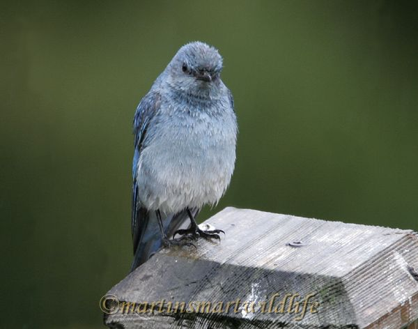 Mountain_Bluebird_2500b.jpg