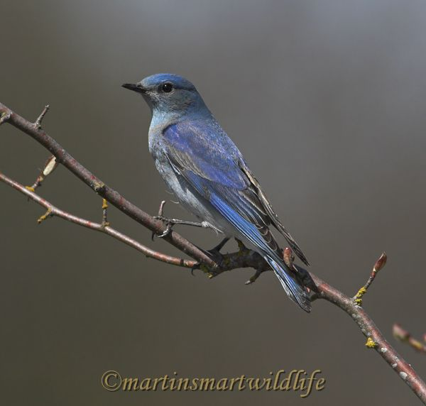 Mountain_Bluebird_3985ax.jpg
