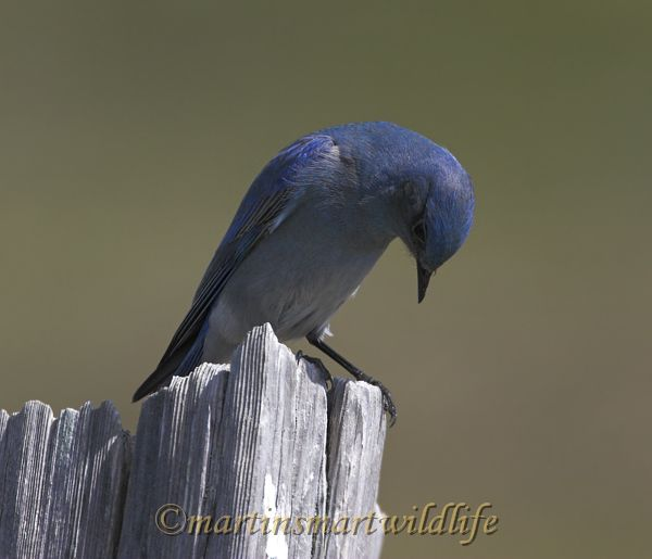 Mountain_Bluebird_4019x.jpg