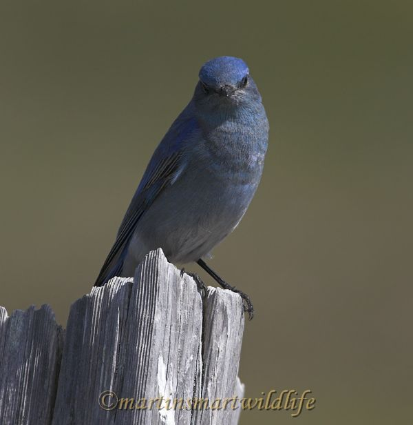 Mountain_Bluebird_4025x.jpg