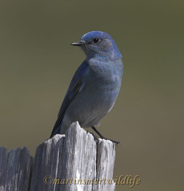 Mountain_Bluebird_4035x.jpg
