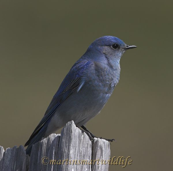 Mountain_Bluebird_4046x.jpg