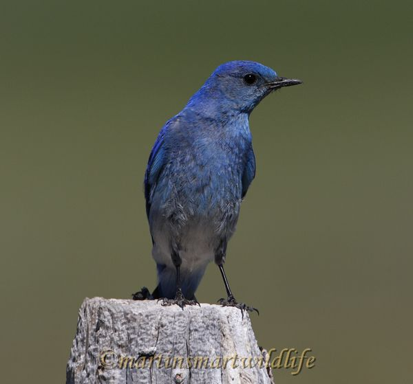 Mountain_Bluebird_8179x.jpg