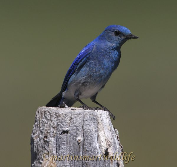 Mountain_Bluebird_8184x.jpg